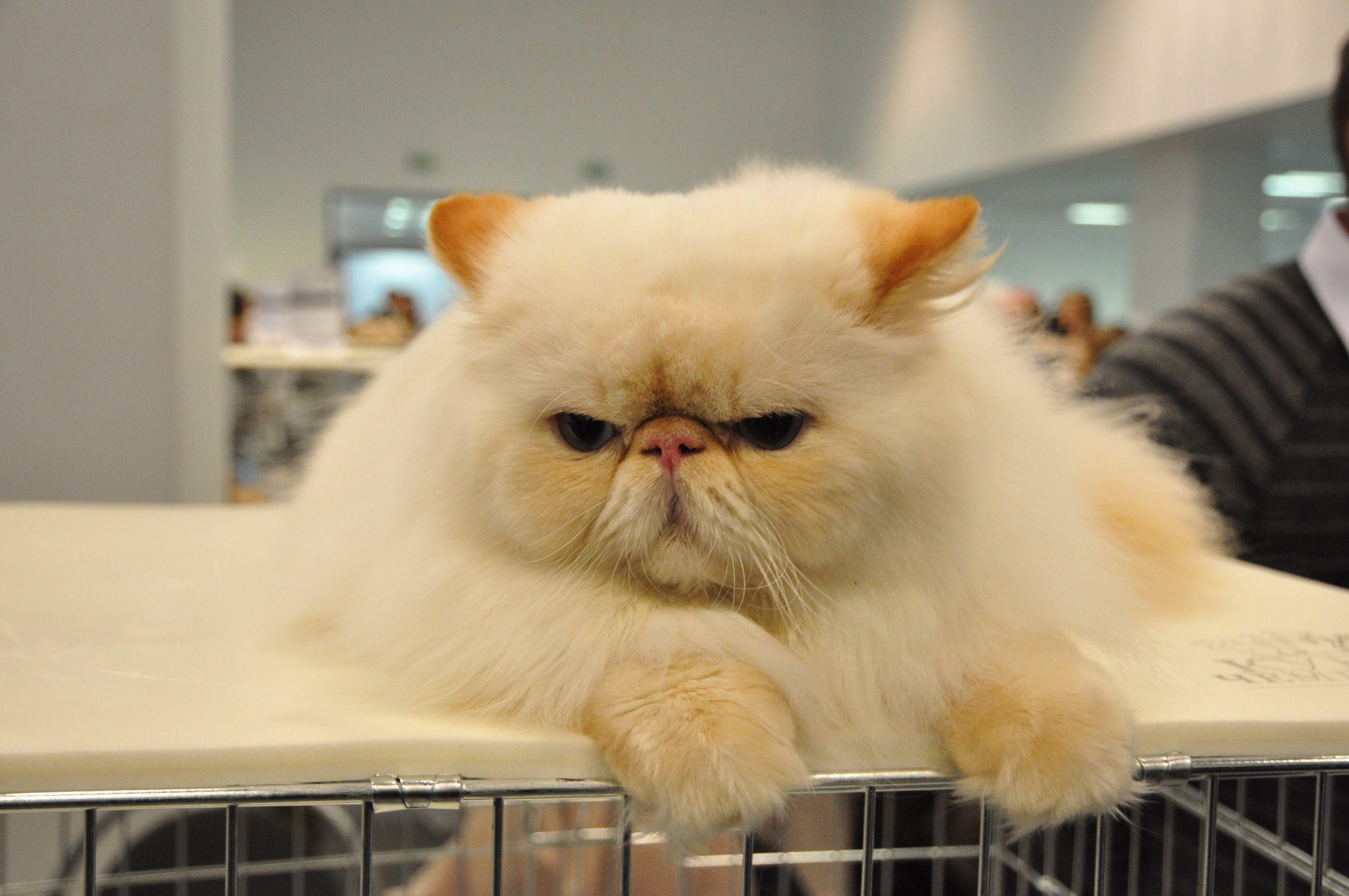 Идиопатический лицевой дерматит персидских кошек