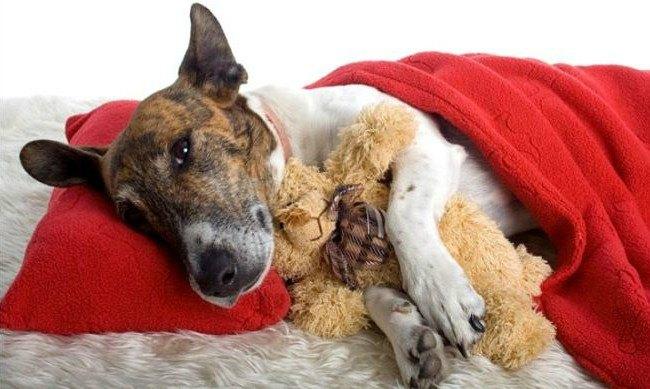 Гепатокожный синдром собак
