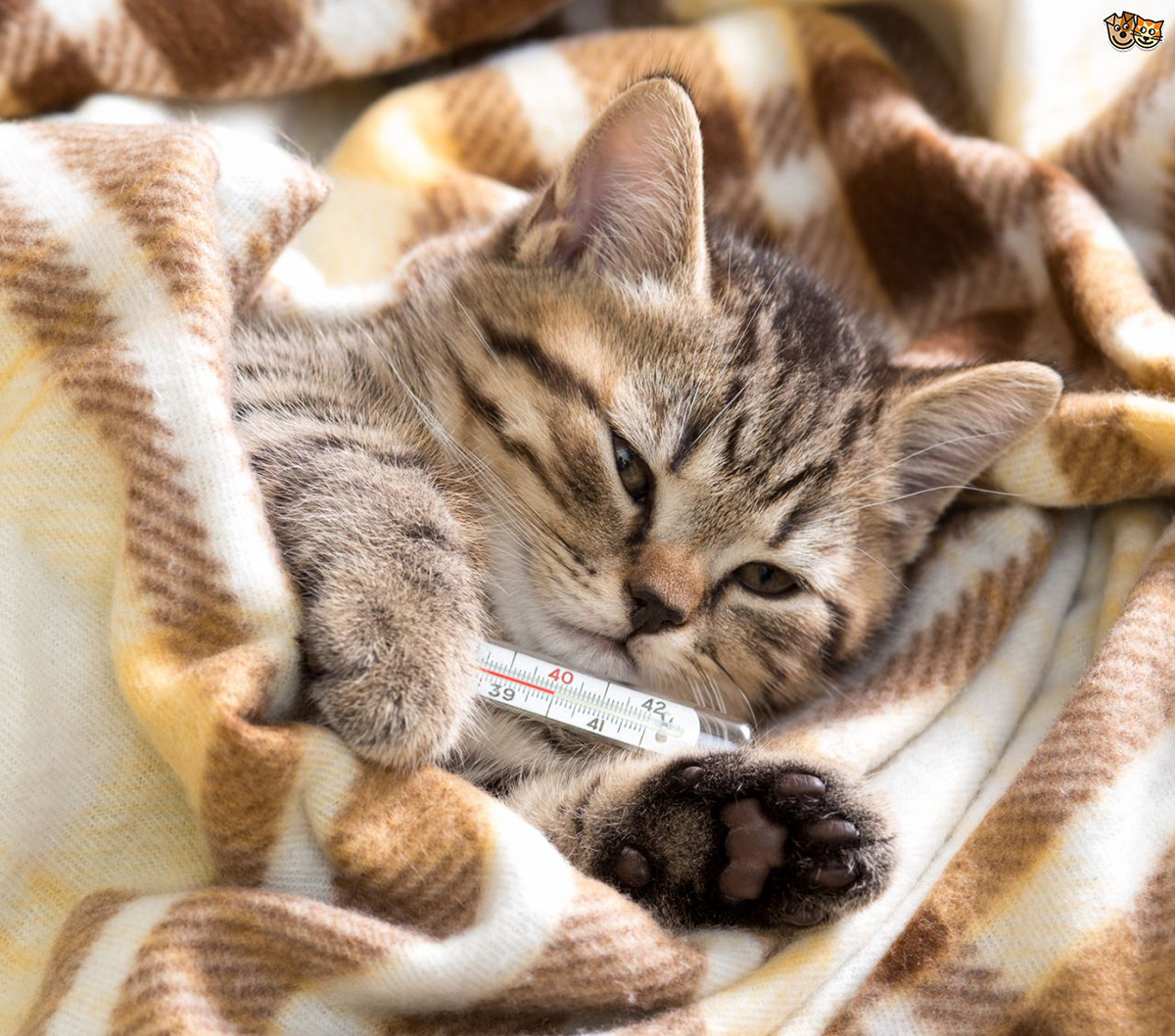 Гемоплазмоз у кошек