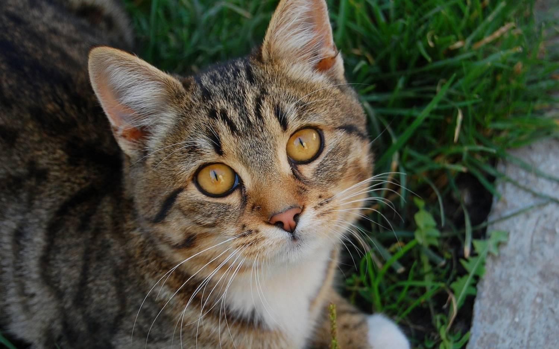 Комплекс эозинофильной гранулемы у кошек