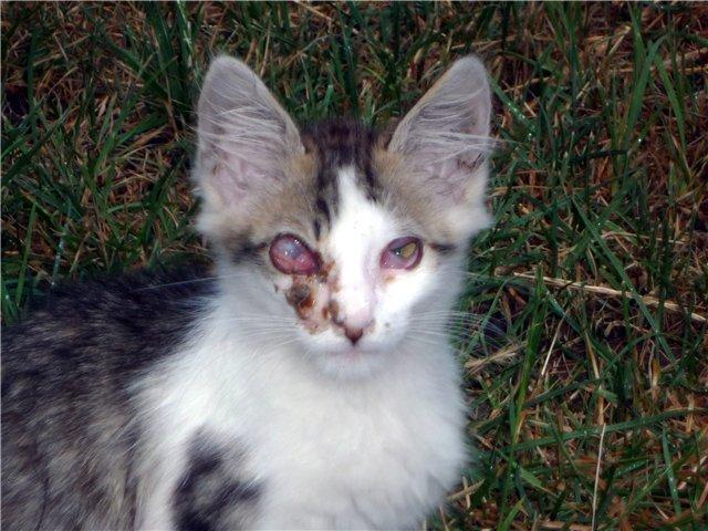 Герпесвирус кошек тип 1