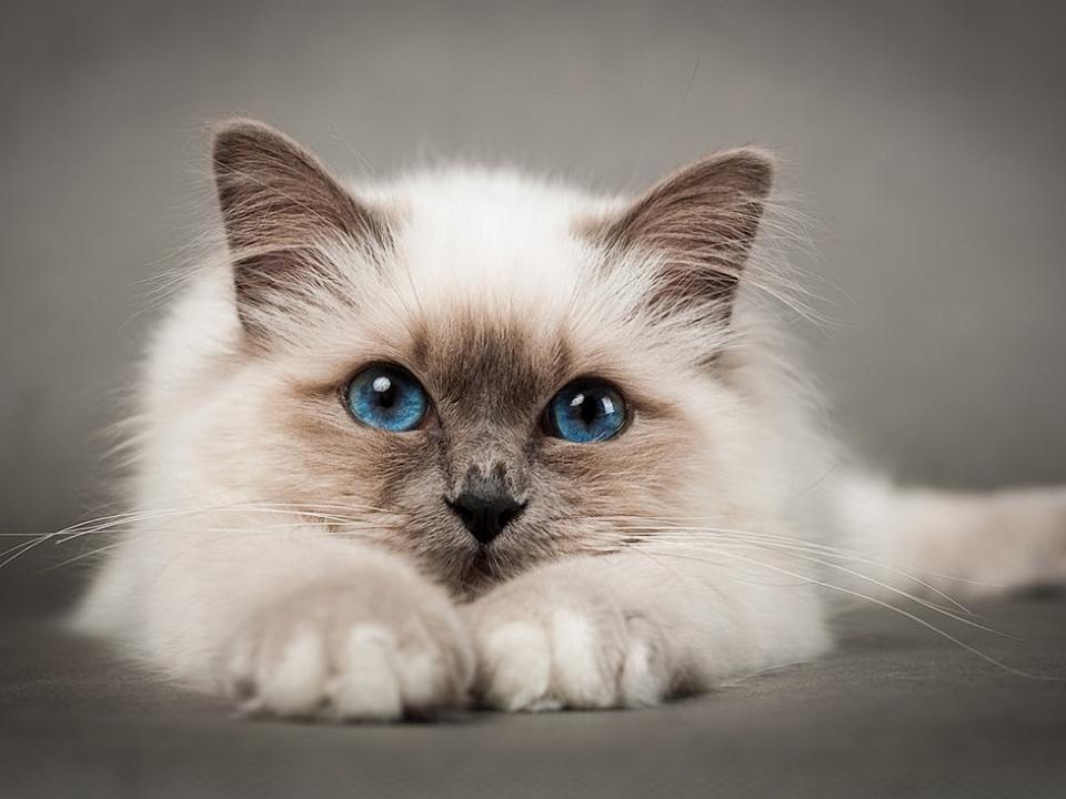 Паранеопластическая алопеция у кошек
