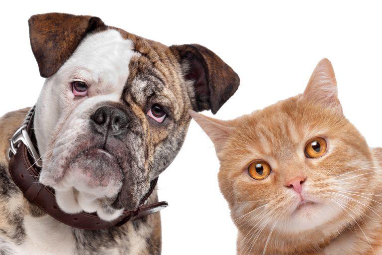 Васкулит кожи собак и кошек
