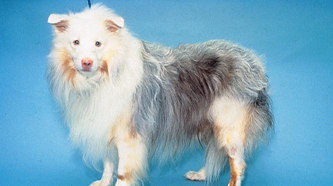 Увеодерматологический синдром собак