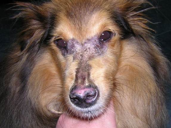 Семейный дерматомиозит у собак