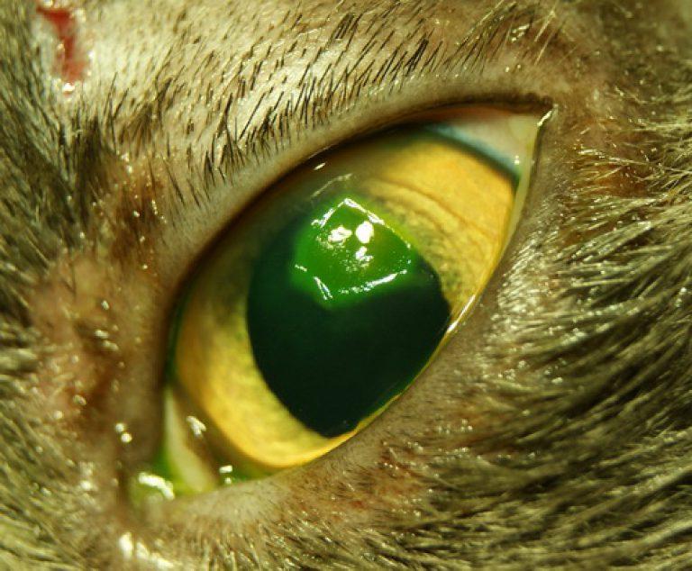 поражение роговицы у котов