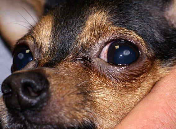 Кератит у собак и кошек