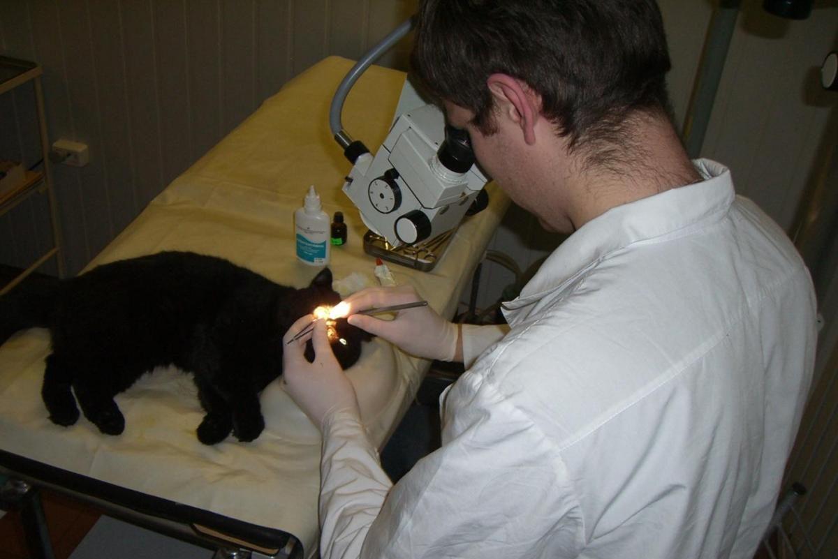 Корнеальный секвестр у кошек