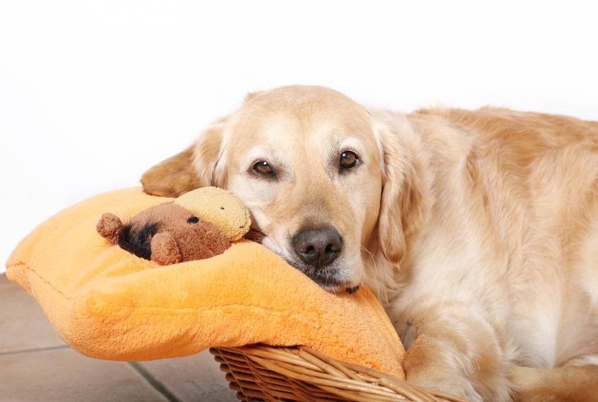 Ложная беременность у кошек и собак