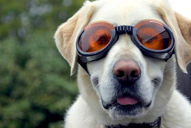Паннус у собак