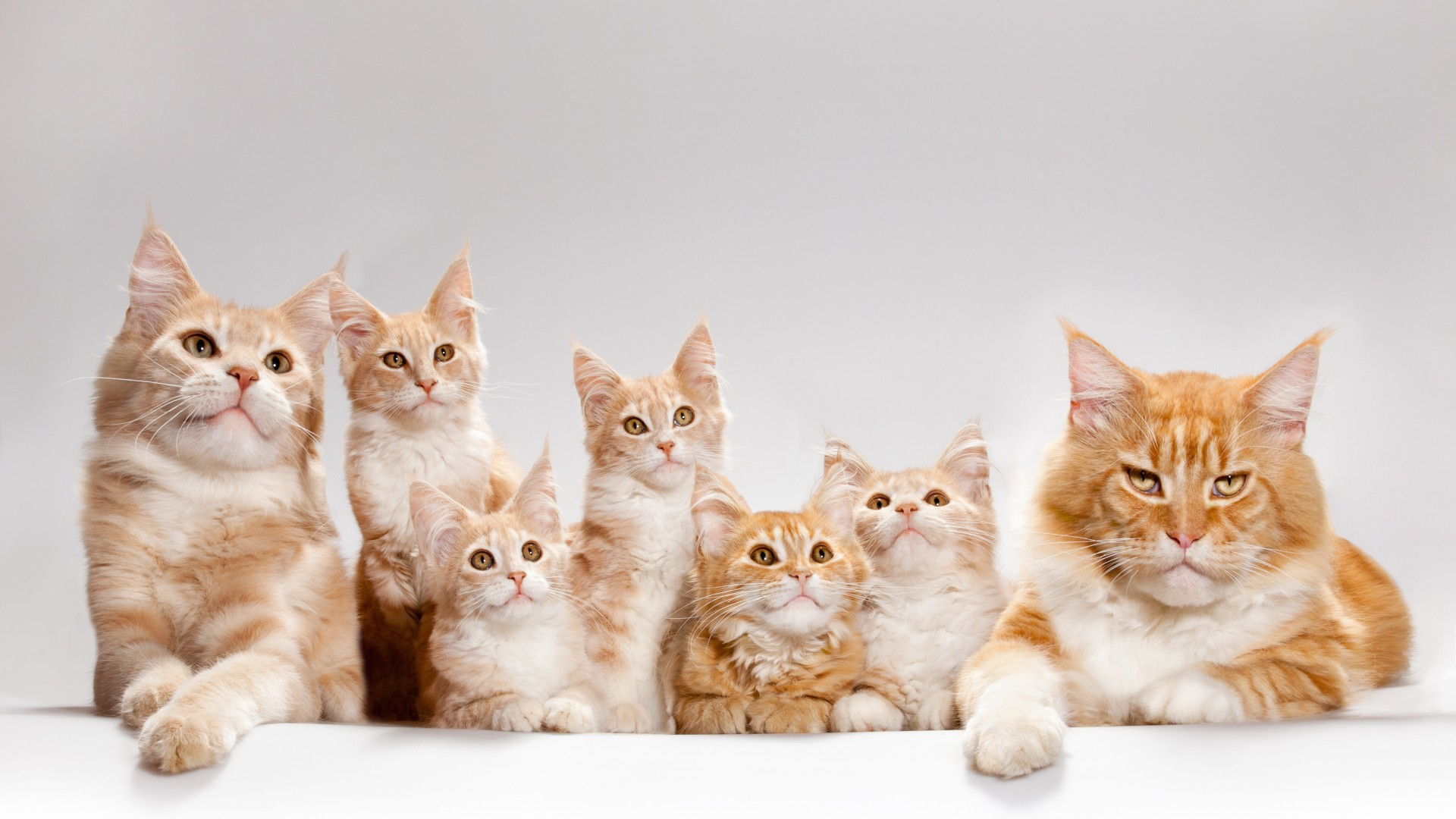 Фиброаденоматозная гиперплазия молочных желез у кошек