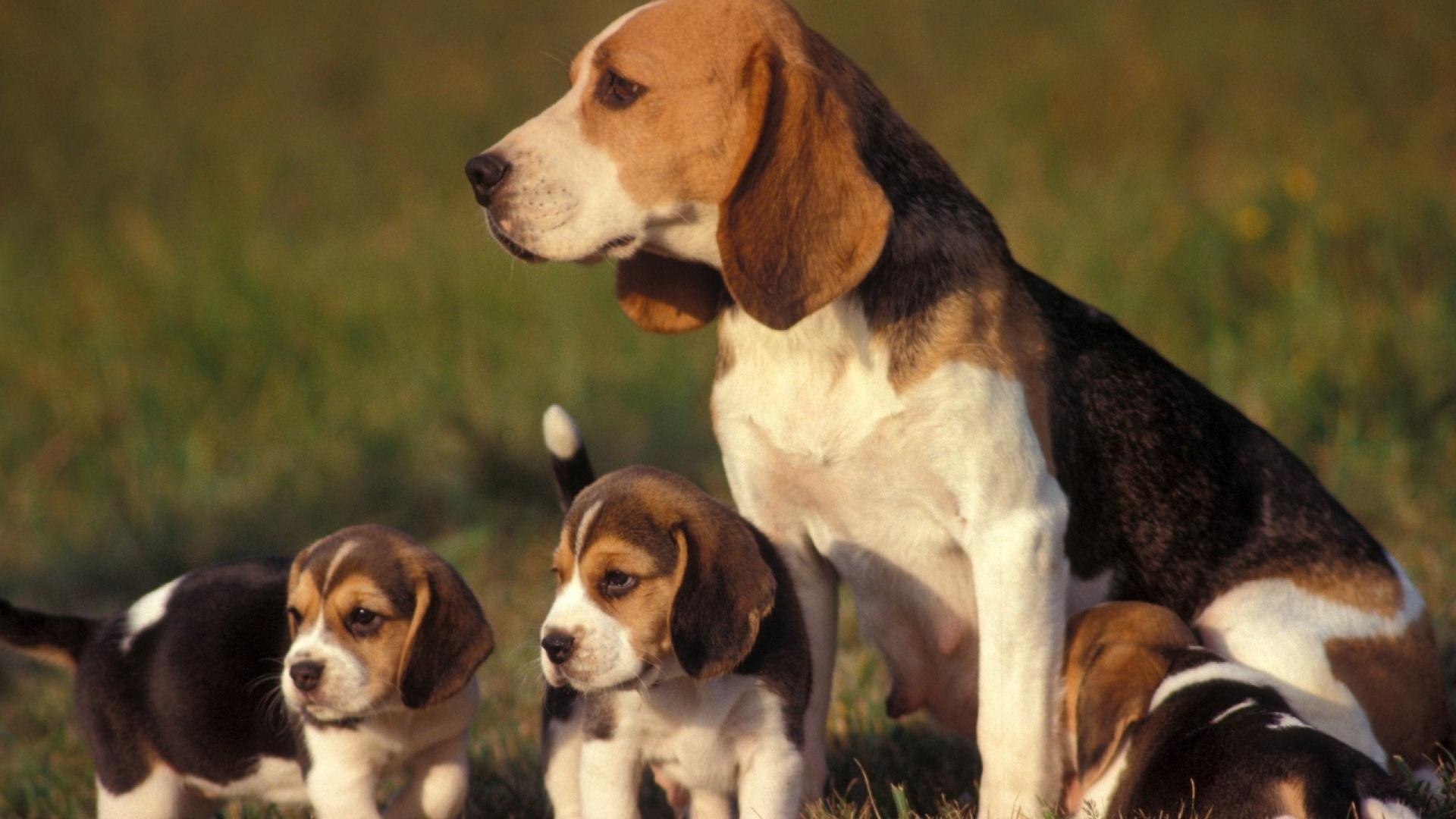 Гиперплазия и выворот влагалища у собак